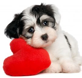 Dirofilaria inmitis o parásitos del corazón